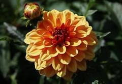 Flower (Hugo von Schreck) Tags: hugovonschreck dahlie flower blume blüte canoneos5dsr onlythebestofnature tamron28300mmf3563divcpzda010