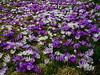 Crocus (Mrs.Snowman) Tags: krokus crocus spring vår norway westernnorway