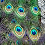 Peacock feathers thumbnail