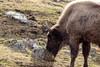 buffalo (Kris Black) Tags: highland wildlife park canon 70300mm 1770mm sigma buffalo horn zoo