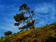 Lonely tree (panoskaralis) Tags: tree pine lonely sky bluesky skyclouds clouds blue nature outdoor landscape mountains mountainview mountainside view lesvos lesvosisland mytilene greece greek hellas hellenic greeknature nikoncoolpixb700 nikon