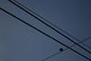 Hora azul 1 (monicaes9) Tags: pájaro horaazul azul cielo blue sky sunrise bird nature