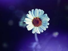 Маргерит (zdm69) Tags: olympus omd em1 closeup macro makro blume margerite dream blue spring frühling 2018 7dwf zdm69 yourbestoftoday cmwdblue