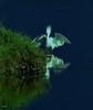 Soft Landing (beachpeepsrus) Tags: birds bird huntingtonbeachcalifornia westcoast water egret blue light california color coast flight