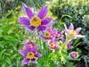 Sasanka (Pulsatilla) (a.swietlik) Tags: sasanka pulsatilla kwiat blooming wiosna spring sasanki vliolet purple flower