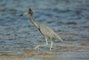 Time for a new do (ChicagoBob46) Tags: littleblueheron blueheron heron bird florida jndingdarlingnwr sanibel sanibelisland nature wildlife ngc coth5 coth npc
