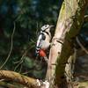 Grote bonte specht / Great spotted woodpecker (MarkBosNL) Tags: nature natuur natuurfotografie netherlands nederland sony a77ii tamron150600g2 wild wildlife meijendel forest bos dier animal bird birding vogel vogelen grote bonte specht great spotted woodpecker