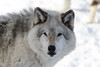 _D6X1482 (pxr57) Tags: sainteannedebellevue québec canada ca wolf nikon d600 eco zoo