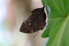 D'une feuille à l'autre (Nature Box) Tags: papillons kallimainachus orangeoakleaf indianoakleaf deadleaf collection img5692 camouflage papillonfeuille