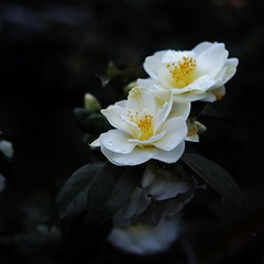 White camellias after the rain (maco-nonch★R) Tags: japanischer japanesephotographer japon japonés japón japanese camellia camelliajaponica white 椿 地蔵院 京都 kyoto kioto 雨 rainy raindrops 椿寺 throughherlens ef50mmf18stm canon eosm5 manual asia