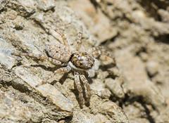Aranya saltadora (Pere_olivella) Tags: aranya araña afosants aracnido arañasaltadora aracnidae spider salticidae spiderjump macro macrofotografia tamron90 collserola
