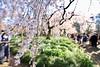IMG_5856 (digitalbear) Tags: canon eos6d sigma 14mm f18 dg art shinjku gyoen sakura cherry blossom blooming hanami tokyo japan