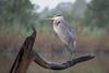 Morning Blue (gseloff) Tags: greatblueheron bird nature wildlife morning twighlight perch weatheredwood water bayou armandbayou pasadena texas gseloff