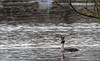 9Q6A8307 (2) (Alinbidford) Tags: alancurtis alinbidford brandonmarsh greatcrestedgrebe nature wildbirds wildlife