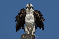 Osprey (John Picken) Tags: animal bird florida marcoisland ornithology osprey picken usa wwwpickencom raptor
