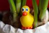 Happy Easter to everyone :-) (Vitatrix) Tags: badeentchen plastik tier ente narzissen