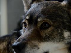Siro ... (Raquel Borrrero) Tags: dog pet perro mascota animal portrait nikon d3200 sigma retrato canine close up