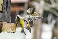 Greenfinch fighting for dessert (CsiziPhoto) Tags: