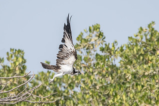 Flight of the Osprey (1 of 3)