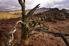 An unhappy tree, perhaps? (PentlandPirate of the North) Tags: tree unhappy lone theroaches staffordshire gnarled splintered