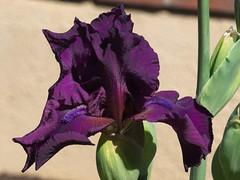 """Wine Time"" in the Iris Garden, Tucson Botanical Gardens (Distraction Limited) Tags: tucsonbotanicalgardens tucsonbotanical botanicalgardens gardens tucson arizona tbg20180330 winetimetallbeardediris winetimeiris winetime tallbeardediris iris flowers irisgarden"
