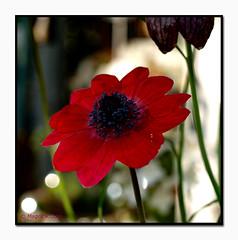Wochenendgruß an Chris Do Pixelchen (magritknapp) Tags: bokeh blumen makro flowers fleurs flores fiori bloemen blommor blomster kwiaty cof020dmnq cof20ally