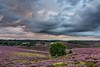 Purple hills and dramatic sky (Sander Grefte) Tags: posbank purple heath heather heide hei hills heuvels lucht sky luchten clouds drama dramatic dramatisch landscape rheden landschap