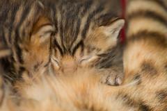 bengalkitten beim trinken (mwo_w_GERMANY) Tags: mario wolff mwoaqwode bengal katze cat chat kitten chaton säugt trinkt stillt mamelle zitzen tatzen taze pfote pfötchen braun black spotted