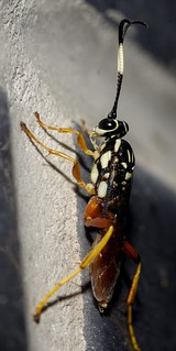 Cryptanura sp. - Ichneumonid Wasp (Brullé, 1846)