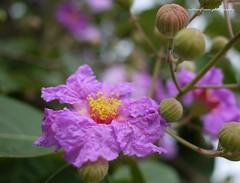 Queen's Flower, Queen's crape myrtle, Pride of India. (natureflower) Tags: purple flower queens crape myrtle pride india phuket thailand