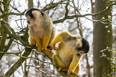 Together as one (Photography by Martijn Aalbers) Tags: squirrelmonkey doodshoofdaapje apenheul apeldoorn guelders gelderland animal dier zoo dierentuin beast beest mammal zoogdier canoneos77d ef70200mmf4lisusm wwwgevoeligeplatennl