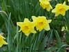 Daffodils (FloraandFauna_2) Tags: daffodils yellow sefton park liverpool