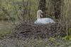 Mute Swan  -  Wilk's Water (Vince O'Sullivan) Tags: odiham england unitedkingdom gb muteswan swan cygnusolor bird nest water white waterfowl