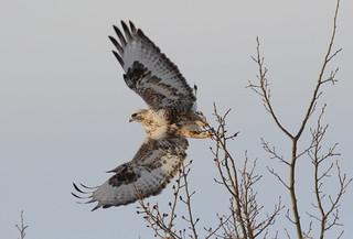 Rough-legged Hawk  9354