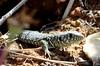 Young Ocellated Lizard (Tam & Sam) Tags: nikon april 2018 bytam nature naturallight catalonia freginals lizard timonlepidus ocellatedlizard young shy