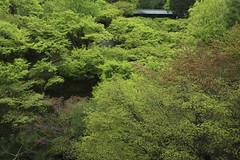 Fresh green,Tofuku-ji,Kyoto (yopparainokobito) Tags: 東福寺 tofukuji 新緑 青もみじ shinryoku aomomiji freshverdure freshgreen kyoto 京都 eos m3 canon