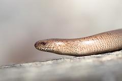 legless lizard -Slow Worm (blootoonloon1( No to Badger Cull)) Tags: reptile lizard legless slowworm colours tan scotland glens highlands