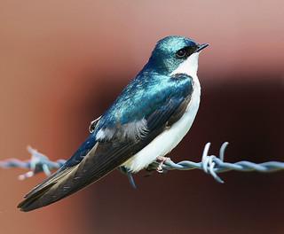 tree-swallow-25w