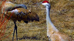 The Silent Treatment (Sandhill Cranes Version) (Chief Tendoy) Tags: redrocksnationalwildliferefuge montana monida birds unitedstates closeups feathers plumage animals wild beaverheadcounty redrockslakes