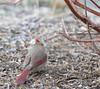 unsociable (Mark.Swanson) Tags: cardinal northerncardinal cardinaliscardinalis