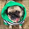 """When your mom dresses you like a big furry leprechaun! Erin Go Bragh!""🍀🍀-PugsleyLuigi  #pug #dog #stpatricksday #eringobragh #dressedup #leprechaun #lucky #dress #luckycharms #green #irish (TheZenOfPugsleyLuigi) Tags: dressedup dress luckycharms green irish pug dog stpatricksday eringobragh leprechaun lucky"