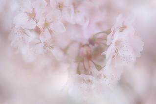 Sakura / 春めき桜