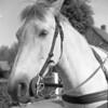 Hoogkerk aangespannen paard ergens in Hoogkerk 1960 (hjrnoorden) Tags: hoogkerk