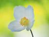 Innocence tinctures all things with brightest hues. (Karsten Gieselmann) Tags: 40150mmf28 anemone blumen blüten em5markii gelb grün mzuiko microfourthirds natur olympus pflanzen textur weis blossom flower green kgiesel m43 mft nature texture white yellow