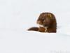 American Mink (Nick Saunders) Tags: americanmink mustelid mink river ice snow canada saskatchewan saskatoon