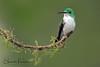 Andean Emerald Hummingbird (Sharon's Nature) Tags: andeanemerald amaziliafranciae ecuador canon hummingbird