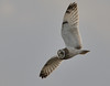Short Eared Owl (Severnrover) Tags: short eared owl aust warth uk river severn estuary fauna birds bird nature wildlife