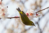 梅とメジロ / Plum Blossoms and White-eye (kimtetsu) Tags: 名古屋市 愛知県 日本 jp 梅 plum 春 spring 鳥 bird メジロ whiteeye japan 野生生物 wildlife