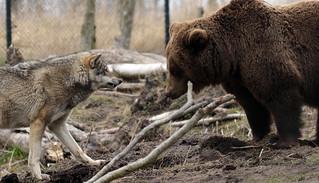 brown bear Hoenderdaell BB2A2188