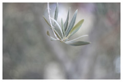 Olive I (Alan Kovacs) Tags: xe2 helios445 olive fragrance